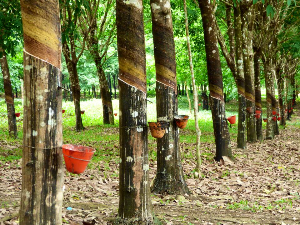 how to grow rubber tree