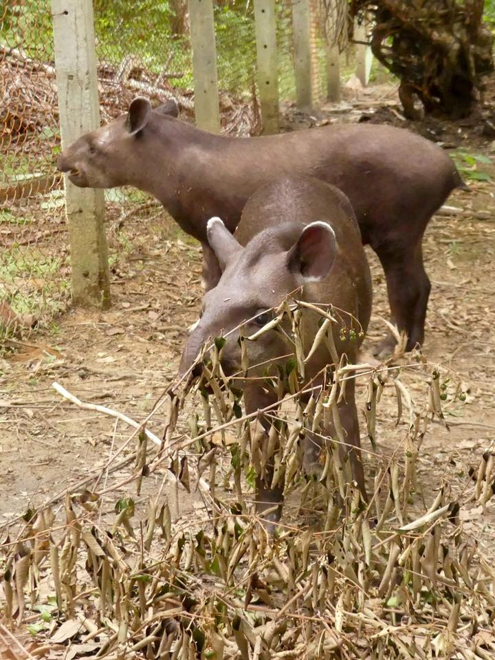 Amazonas: Brazilian Tapir – travel2unlimited