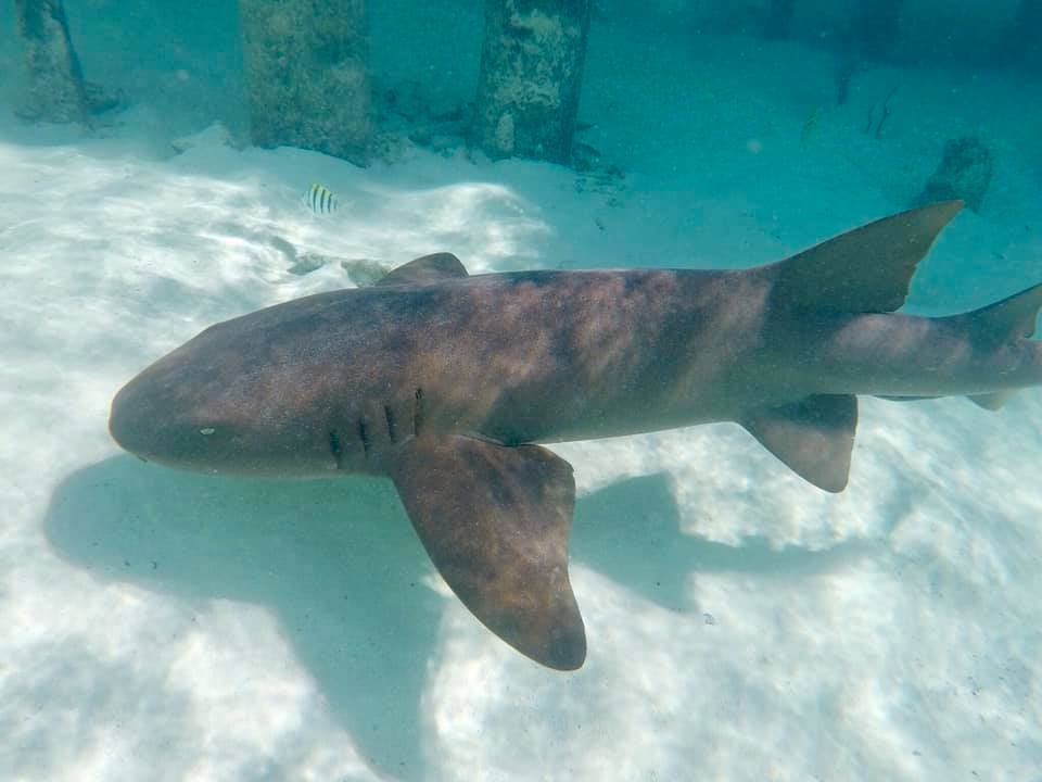 Bahamas/Exumas: Nurse Sharks at Compass Cay – travel2unlimited