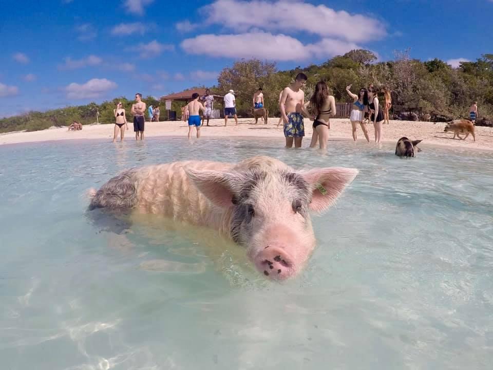 Bahamas/Exumas: Swimming Pigs of Big Major Cay